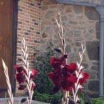 Gladiolus 'Aigle Noir'