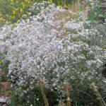 Gypsophila paniculata 'Bristol Fairy'