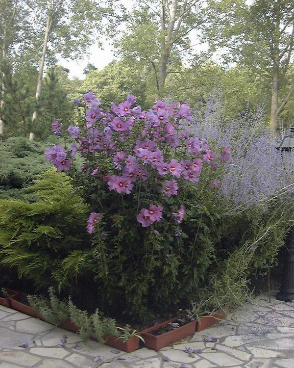 Les jardins du gu hibiscus syriacus 39 mauve queen - Encyclopedie des fleurs et plantes de jardin ...