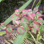 Houttuynia cordata 'Chameleon'