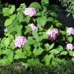 Hydrangea macrophylla 'Homigo'