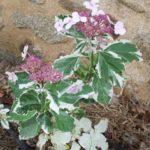 Hydrangea macrophylla 'Tricolor'
