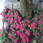 Impatiens 'Cupido rose Passion'