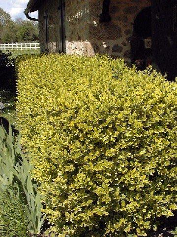les jardins du gu ligustrum ovalifolium 39 aureum 39 encyclop die des plantes. Black Bedroom Furniture Sets. Home Design Ideas