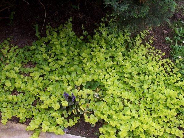 les jardins du gu lysimachia nummularia 39 goldilocks 39 encyclop die des plantes. Black Bedroom Furniture Sets. Home Design Ideas