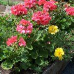 Pelargonium 'Coral Spice'