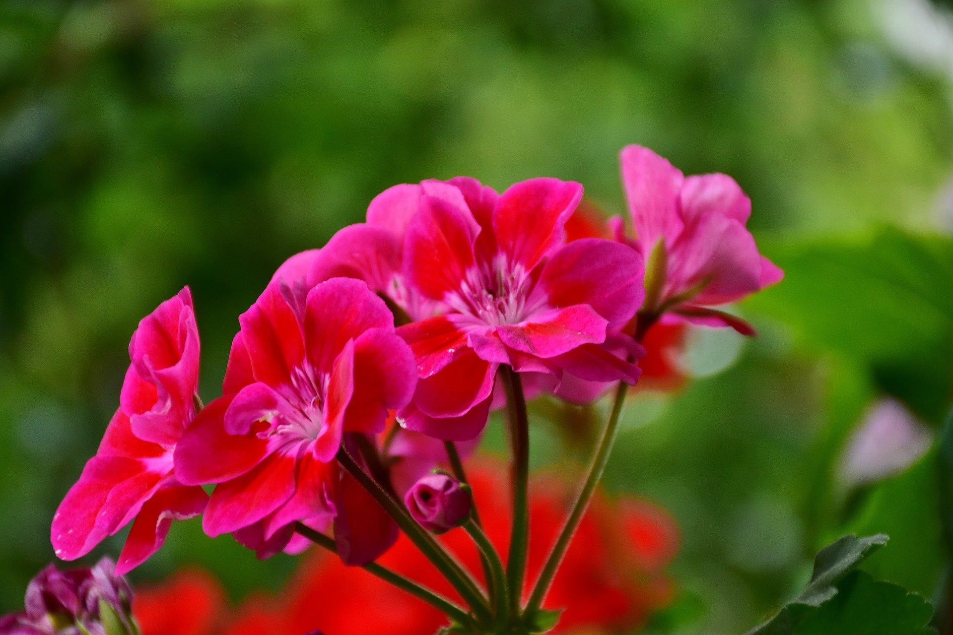 Différencier Pelargonium et Geranium