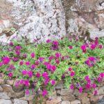 Petunia 'Reflexion purple'