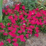 Phlox 'Surphlox rouge'