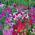 Phlox drummondii 'Grandiflora'