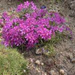 Phlox subulata 'Temiskaming'