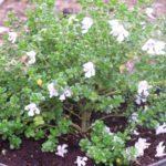 Prostanthera cuneata