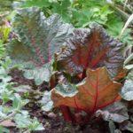 Rheum palmatum 'Atrosanguineum'
