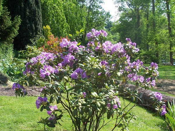 les jardins du gu rhododendron 39 fastuosum flore pleno 39 encyclop die des plantes. Black Bedroom Furniture Sets. Home Design Ideas