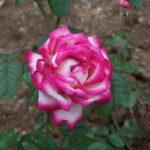 Rosa 'Atlas'