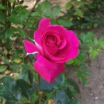 Rosa 'Baronne Edmond de Rothschild'