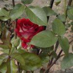 Rosa 'Bicolette'