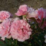Rosa 'Botticelli'