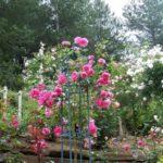 Rosa 'Centenaire de Lourdes'