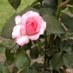 Rosa 'Diane de Poitiers'