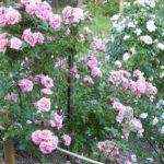 Rosa 'Domaine de Courson'