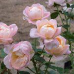 Rosa 'Isabelle Autissier'