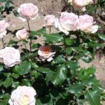 Rosa 'Johann Strauss'