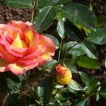 Rosa 'Jules Verne'