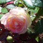 Rosa 'Laetitia Pujol'