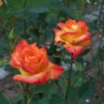 Rosa 'Les Sables d'Olonne'