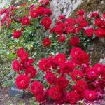 Rosa 'Mainaufeuer'