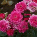 Rosa 'Mistigri'