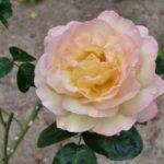 Rosa 'Peace'