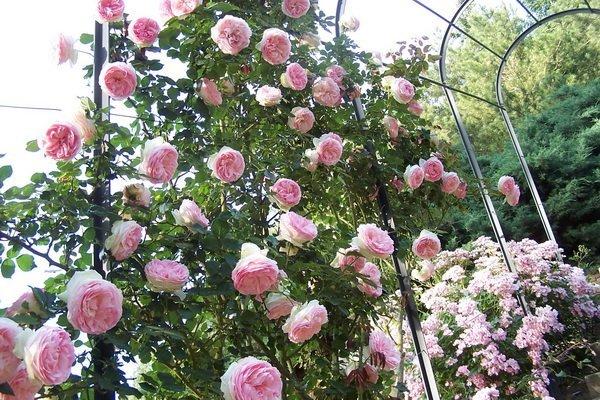 Les jardins du gu rosa 39 pierre de ronsard for Jardin eden prairie