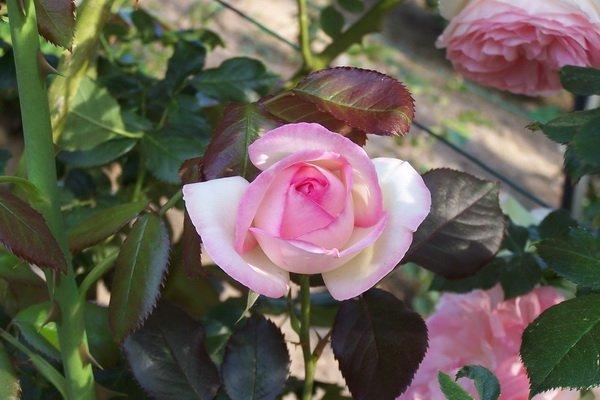 Les jardins du gu rosa 39 pierre de ronsard for Pierre de ronsard rosa