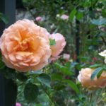 Rosa 'Polka 91'