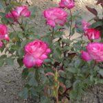 Rosa 'Rose Gaujard'