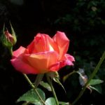Rosa 'Sheila's Perfume'