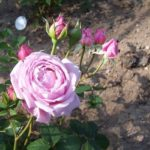 Rosa 'Spirit of Freedom'