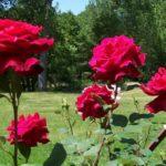 Rosa 'Super Congo'