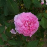 Rosa 'The Mayflower'
