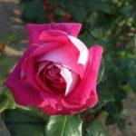 Rosa 'Ville de Villeurbane'