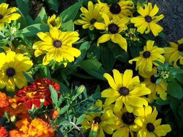 les jardins du gu rudbeckia hirta 39 becky 39 encyclop die des plantes. Black Bedroom Furniture Sets. Home Design Ideas