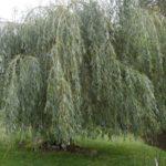Salix babylonica 'Sacramento'
