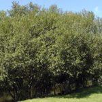 Salix caprea 'Curly Locks'