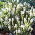 Salvia nemorosa 'Adrian'
