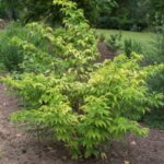 Sambucus racemosa 'Sutherland Gold'