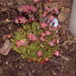 Saxifraga arendsii-hybrides