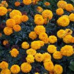 Tagetes 'Orange Lady'