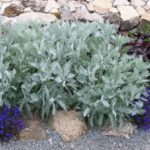 Tanacetum ptarmiciflorum 'Silver Lace'